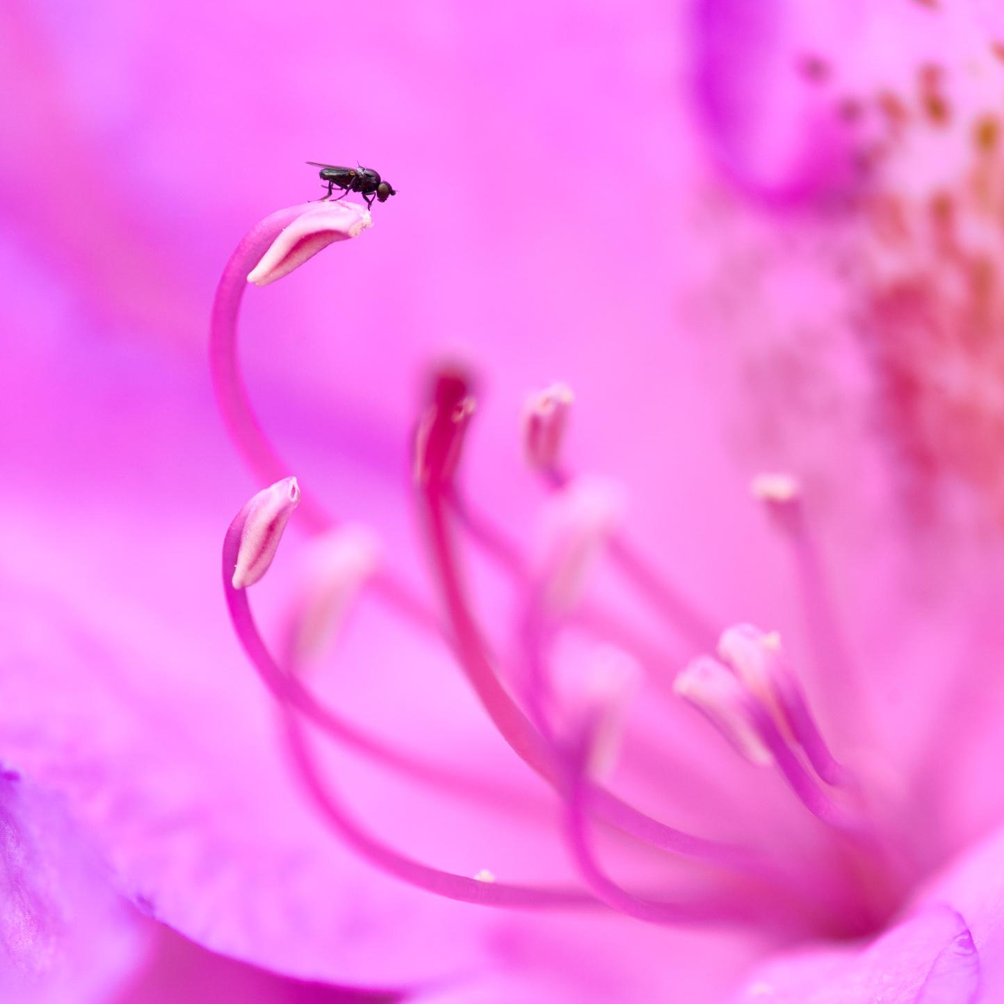 . Foto: Leif Ljungquist. Fluga i rhododendron.