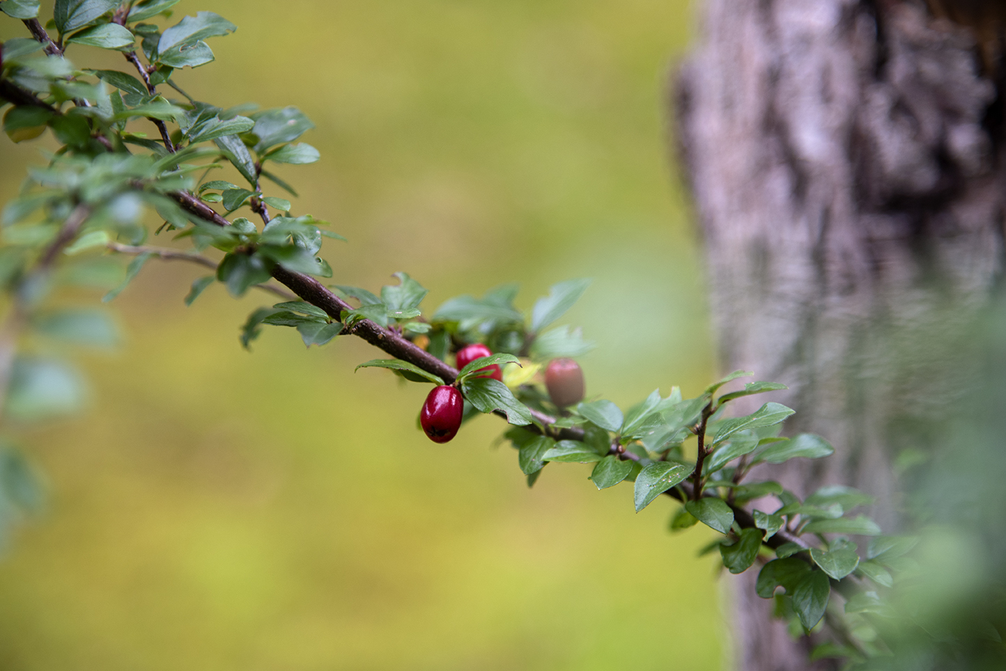 Bild på en gren med gröna blad och röda bär.