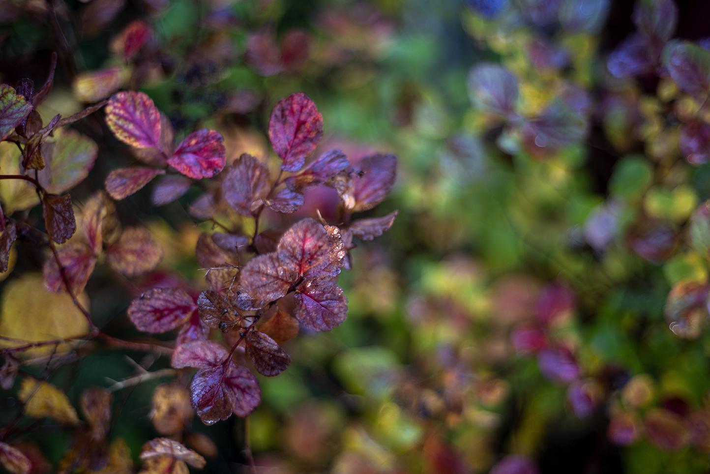 Buske med blad i lila höstfärger.